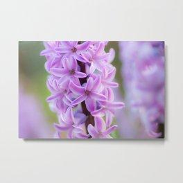 Hyacinthus orientalis 645 Metal Print