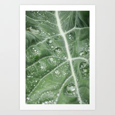 Rain water on a Purple Cauliflower leaf. Norfolk, UK. Art Print