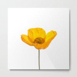 Yellow poppy photography, Iceland Poppy Sqaure Metal Print