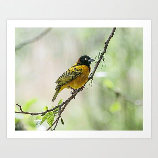 Village Weaver Bird Art Print