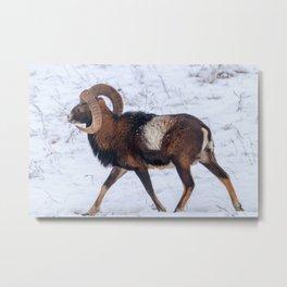 Mouflon Male in Winter Wild nature (ovis musimon) Metal Print