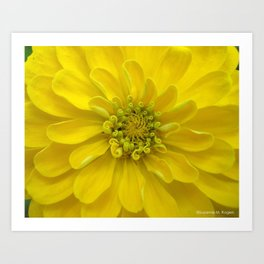 Bright Yellow Zinnia Flower Art Print
