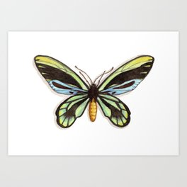 Butterflies: Queen Alexandra's Birdwing Art Print