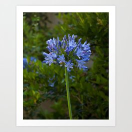 The Blue Bloom Art Print