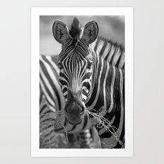 Zebra with grass, Africa wildlife Art Print