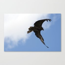 Whistling Kite Feeding On The Wing Canvas Print