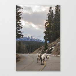 Big Horned Sheep Canvas Print