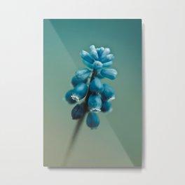Blue Flower, Grape Hyacinth Metal Print