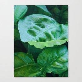 Green Basil Canvas Print