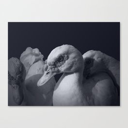 Three Ducks And One is staring. Canvas Print