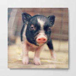 Piebald Pig puppy for Pig Lovers                                        Metal Print