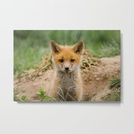 Coming Out Baby Red Fox Pup Wildlife Photograph Metal Print