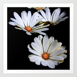 White African Daisies Isolated on Black Art Print