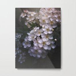 Hawthorn Blossoms Metal Print