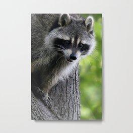 Raccoon In Tree Metal Print