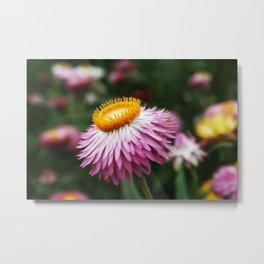 Pink Aster Flower Metal Print