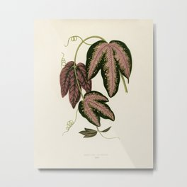 Tri-colored Passion Vine (Passiflora Trifasciata) engraved by Benjamin Fawcett (1808-1893) for Shirl Metal Print