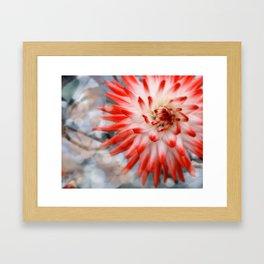 Dreamy Red and White Dahlia Framed Art Print