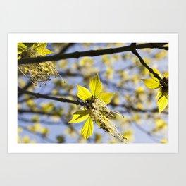 beautiful flowering maple Art Print