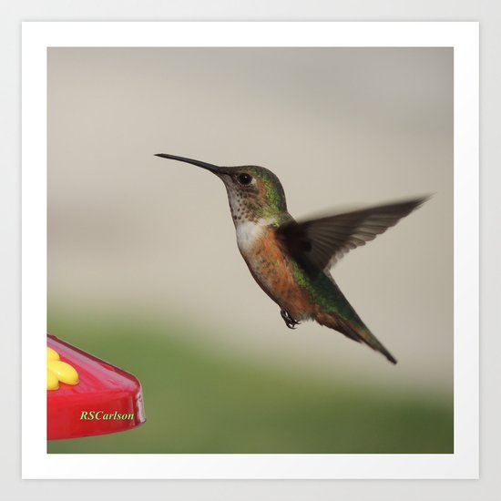 Ms. Hummingbird Checks the Feeder Art Print