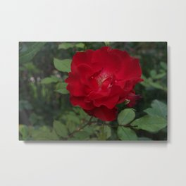 Behold the red beauty that tamed the beast Metal Print