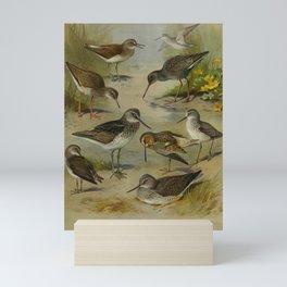 Vintage Print - Sandpipers, Redshanks, Snipes etc., from Thorburn's British Birds (1915) Mini Art Print