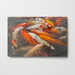 Koi Carp Food Frenzy 2 Metal Print