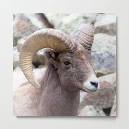 Watercolor Sheep, Bighorn Ram 01, Drake, Colorado, Rocky-top Metal Print
