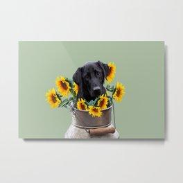 milk can with labrador dog  - sunflowers Metal Print