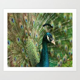 Peacock Portrait Art Print