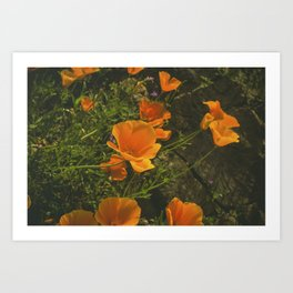 California Poppies 001 Art Print