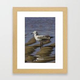 Juvenile Silver Gull Framed Art Print