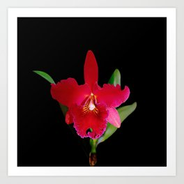 Red Cattleya orchid flower Art Print