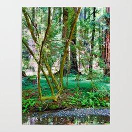 Muir Woods Study 11 Poster