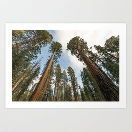 Redwood Sky - Giant Sequoia Trees Art Print
