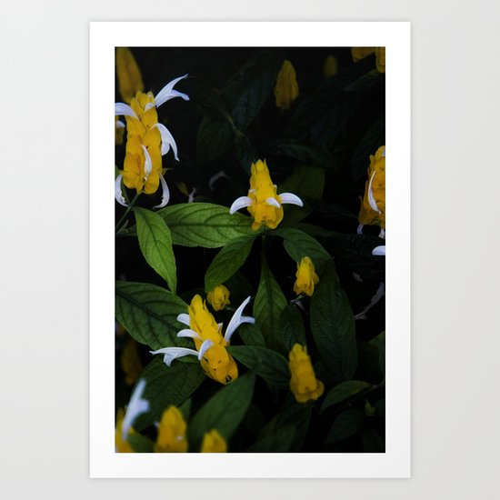 Golden shrimp plant. Flowers. Art Print