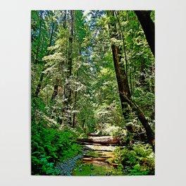 Muir Woods Study 22 Poster
