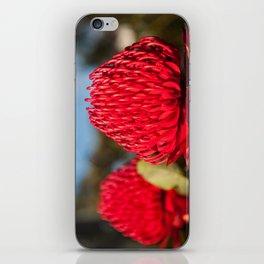 Huge red Waratah flowerheads in spring iPhone Skin