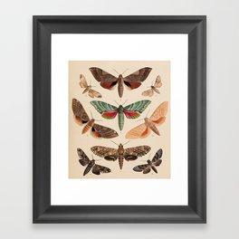 Vintage Natural History Moths Framed Art Print