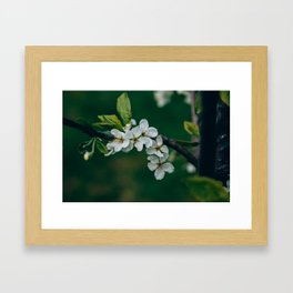 Cherry blossom in bloom Framed Art Print