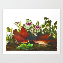 Key-west Dove Art Print