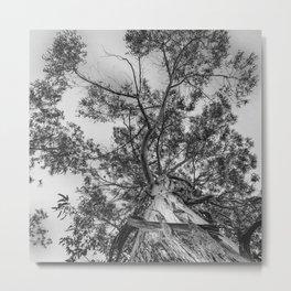 The old eucalyptus tree Metal Print