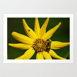 The Bumble and The Sunflower #2 Art Print