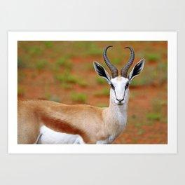 Springbok in Namibia, wildlife Art Print