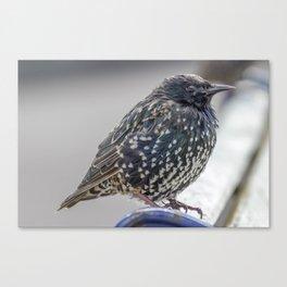 Starling. Canvas Print