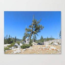 road trip, non typical tree, forked tree, back growth Canvas Print