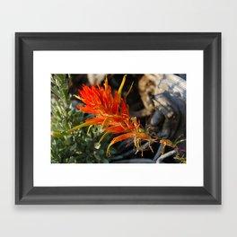Indian Paintbrush Framed Art Print