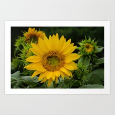 September Sunflower Art Print