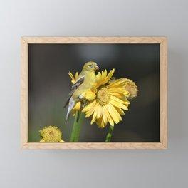 Female American Goldfinch perched on Yellow Gerbera Daisy Flowers Framed Mini Art Print
