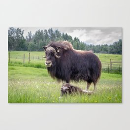 North American Wildlife - Alaskan Musk Ox and Calf Canvas Print